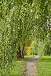 Footpath under willows in autumn park