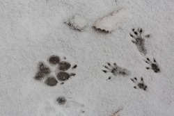 Footprints of a dog paw and the four paws of a squirrel in the snow. Symbol for big and small, being different and unexpected encounters.