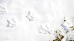 Footprints of a duck, bird, chicken, rooster on white snow, top view.