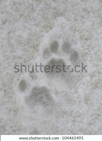 Footprints of a leopard, Annapurna Conservation Area, Nepal.