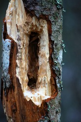 For ecologist and forester. Deep holes in young, but dead tree made by Black woodpecker. Beetle Anobium attacks moist rotten core, woodpecker finds larva, but as size of holes shows not immediately
