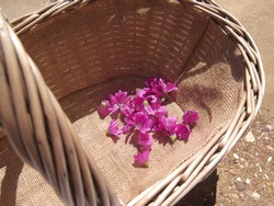 Foraging beautiful common mallow flowers in a trug