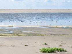 Foraging birds in shallow water at low tide, Westerstrand beach, Schiermonnikoog, Netherlands