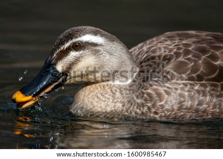 Foraging Eastern Spot-billed Duck (Anas zonorhyncha), also known as Chinese Spot-billed Duck, swimming in a lake in Japan. Eating from water surface.