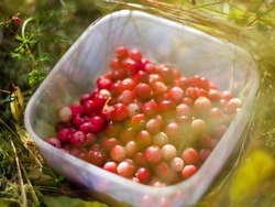 Foraging wild cranberry in autumn. Fresh, wild, tasty, organic cranberries harvested in the fall forest. Delicious berries perfect for healthy diet, vegetarian menu, desserts and sauce.