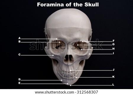 Foramina of The Skull, Study Tool on Black background