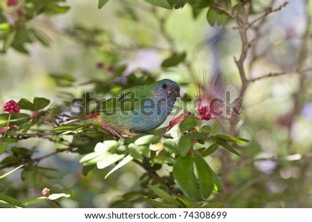 Forbes Parrot Finch  feeding on bottle brush tree flowers