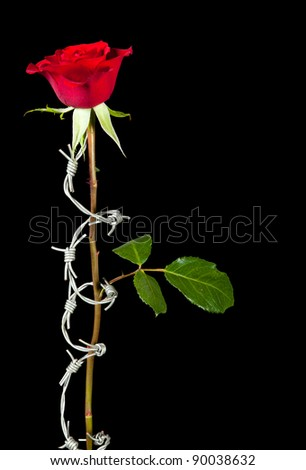 Forbidden love symbolised by barbed wire curling around a rose