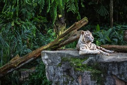 Forceful white tiger with blue eyes is resting on the rock on the plants background in the zoo in Singapore. Closeup photo. Horizontal.
