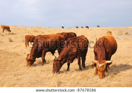 forefront of a cows grazing in a meadow, Israel