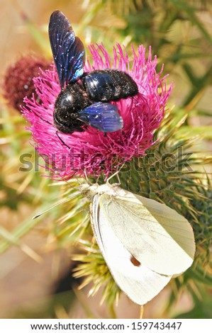 foreground of bumblebee on a thistle flower