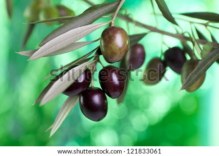 foreground olive branch with olives. Andalucia.  Spain.