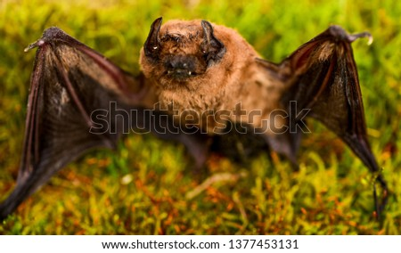 Forelimbs adapted as wings. Mammals naturally capable of true and sustained flight. Bat emit ultrasonic sound to produce echo. Bat detector. Ugly bat. Dummy of wild bat on grass. Wild nature. #1377453131