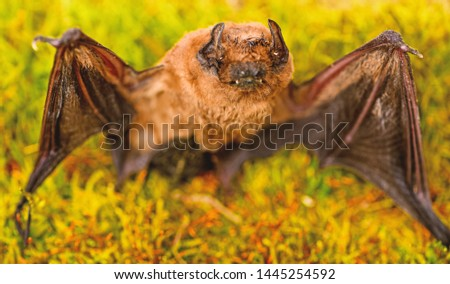 Forelimbs adapted as wings. Mammals naturally capable of true and sustained flight. Bat emit ultrasonic sound to produce echo. Bat detector. Ugly bat. Dummy of wild bat on grass. Wild nature. #1445254592
