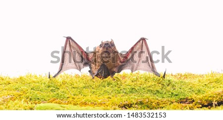 Forelimbs adapted as wings. Mammals naturally capable of true and sustained flight. Bat emit ultrasonic sound to produce echo. Bat detector. Dummy of wild bat on grass. Ugly bat. Wild nature.