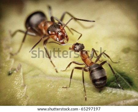 forest ants, worker and soldier
