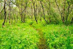 forest asbyrgi iceland