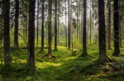 Forest background. Dark forrest nature view