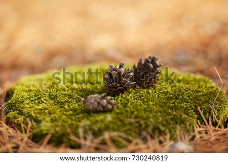 Forest beautiful cones lie on green moss outdoors.