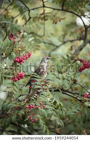 Forest birds of Russia. The snowbird. Stock fotó ©