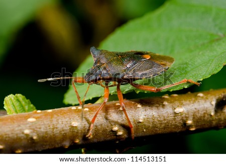 forest bug wandering over twig - stock photo
