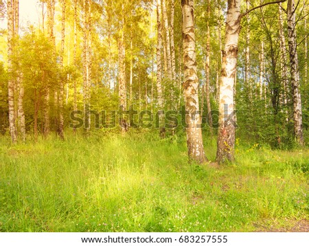 Forest clearing with birches illuminated by the sun #683257555
