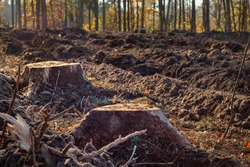 Forest destruction. Two stumps after deforestation against the backdrop of the forest, small depth of focus.