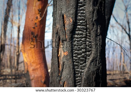 Forest detail at Buckland Gap near Beechworth, Victoria, Australia after the devastating 2009 Black Saturday bushfires
