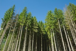 Forest detail with tall pine trees