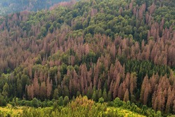 Forest dieback in northern central Germany, Europe. Dying spruce trees in the Harz National Park, Lower Saxony. Drought and bark beetle infestation in summertime.