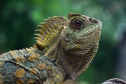 Forest dragon lizard closeup on branch, reptile closeup