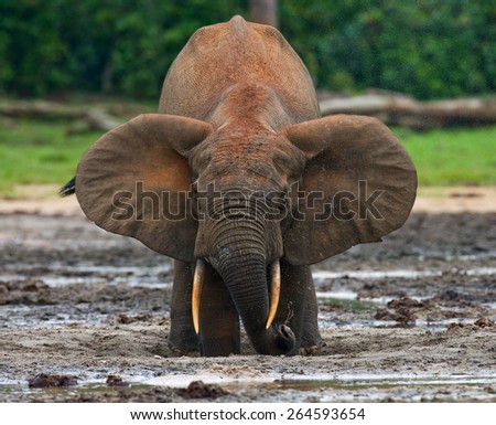Forest elephant drinking salt water. Jungle. Rare picture. An excellent illustration. The Central African Republic. Сток-фото ©