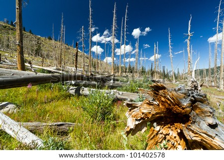 Forest fire leaves behind dead trees in the Colorado Rocky Mountains
