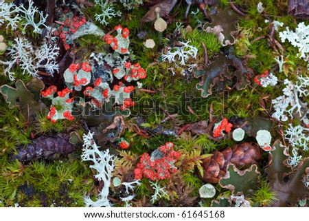 Forest floor closeup with Red Pixie Cup (Cladonia coccifera) lichens