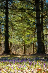 forest glade nature background in spring. crocus flowers on the glade in sunlight. trees in the blurred distance. sunny weather