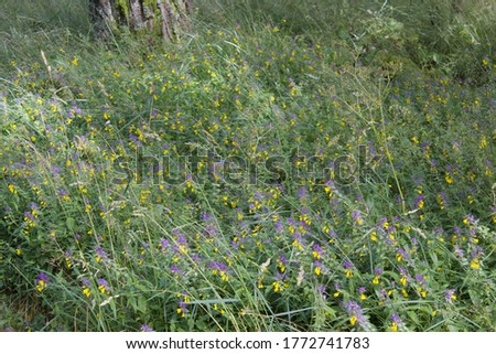 Forest glade with purple and yellow summer flowers Curonian Spit