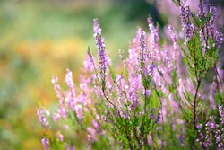 Forest heather close-up