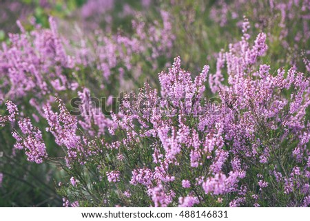 Forest heather flowers and blossoms in spring blooming in natural forest heather flowers and blossoms in spring blooming in natural environment vintage look mightylinksfo