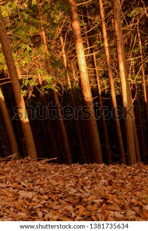 Forest in Nikko, Japan, split into three sections of Autumnal colour by the setting sun - a drift of leaves, the dark tree trunks in shadow, and the higher section in light. #1381735634