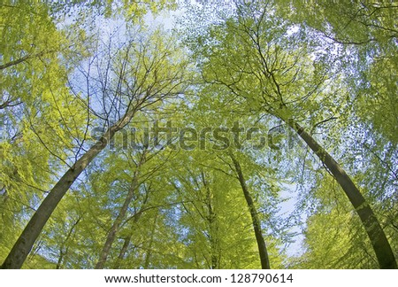 Forest in spring, fresh green canopy.