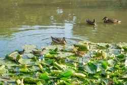 Forest lake, partly overgrown with aquatic plants. Ducks swim in neighborhood with family of swamp chicken, which freely walk directly on leaves of water lilies