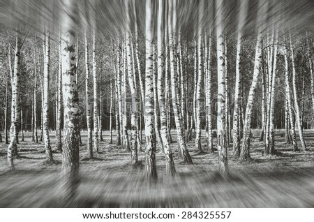 Forest landscape. Deciduous trees, birch black & white abstract background.