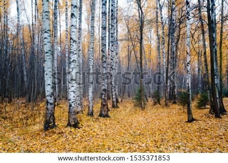 Forest landscape in the morning mist, mysterious fog, wood background, rainy morning in the autumn forest, golden fall, grumpy and sleepy mood, silent hiding a mystery naked leafless trees trunks.