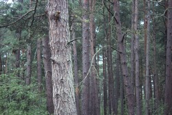 Forest Landscape Part of vertical pine tree trunk close up.Nice Background.