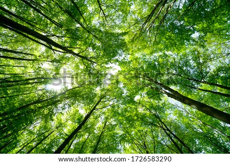 Forest, lush foliage, tall trees at spring or early summer - photographed from below Stock photo ©