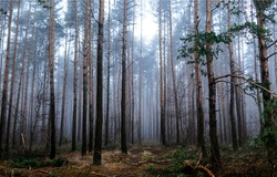 Forest mist trees background. Misty forest trees. Forest in mist. Forest mist background