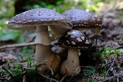 Forest mushrooms - poisonous mushroom Amanita pantherina