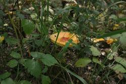 Forest mushrooms toadstools and toadstools. Poisonous mushroom. Forest mushrooms toadstools and toadstools. Poisonous mushroom. Autumn harvest. Autumn harvest.