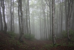 forest of beech trees surrounded by vegetation and dense mountain fog in countryside of tuscany