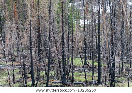 forest of burned trees years after a forest fire in Glacier National Park, Montana.